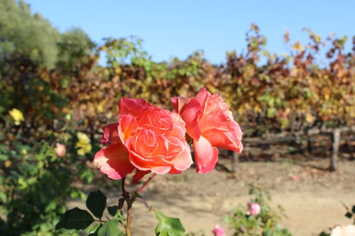 Napa Valley Vineyard, Roses, Napa Roses, Rose Gardens, Posh Floral, California,