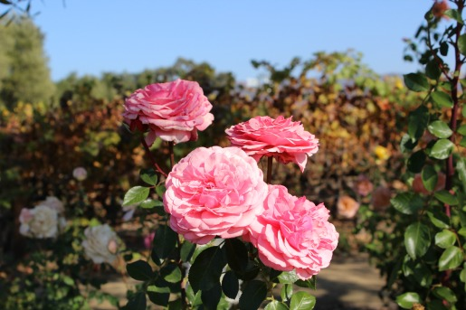 Mondavi Vineyards, Napa Valley Vineyard, Roses, Napa Roses, Rose Gardens, Posh Floral, California,