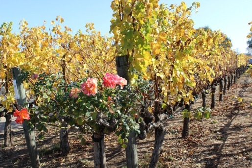Cliff Lede Vineyard,Napa Valley Vineyard, Roses, Napa Roses, Rose Gardens, Posh Floral, California,